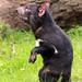 Tasmanian devil duisburg BB2A0716 by j.a.kok