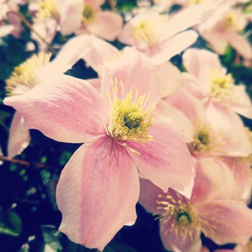 Sole, cuore, alta gradazione #ilcile #citazioni #musicaitaliana #macro #flower #pink #excellent_nature #excellent_macros #flowerporn #flowersandplants #instagram #repostcalabria #calabriadaamare #naturelovers #appletstag #yourartgallery #viewbug #il_fotog