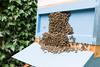 Bee beard 1