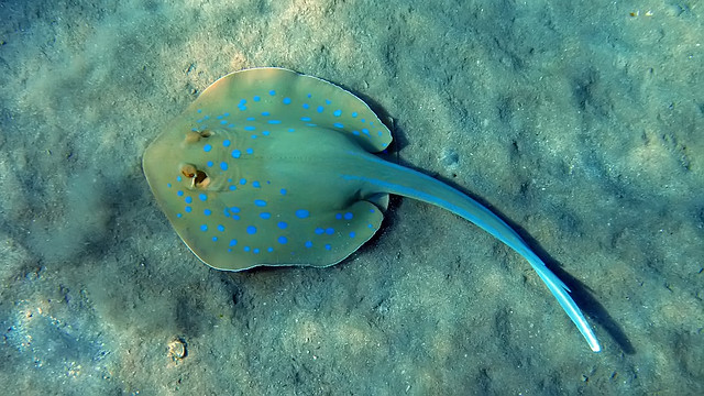46.Blue Spotted Stingray (Taeniura lymma)