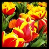 Red and yellow #tulips #thetron #hamgardens