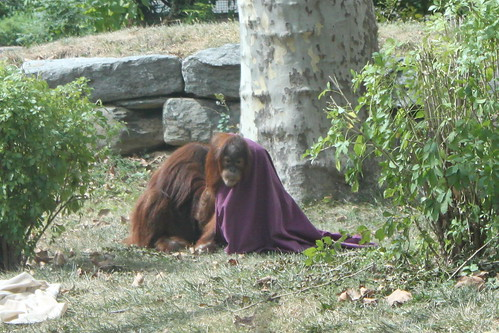 Orangutans ditching the sheet