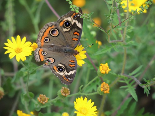 butterfly insect texas creation common buckeye montgomerycounty commonbuckeyebutterfly