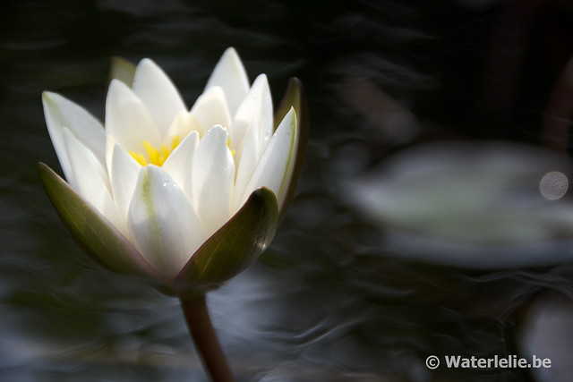 Waterlelie Snow Princess / Nymphaea Snow Princess
