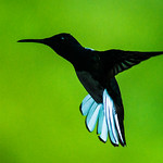 Trinidad & Tobago_Birds_August 2014