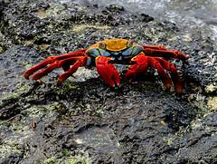 crab, animal, ocypodidae, crustacean, seafood, marine biology, invertebrate, fauna,