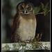 BROWN WOOD OWL by dragon_pang