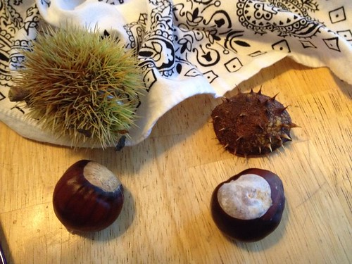(Left) Edible chestnut (right) inedible chestnut