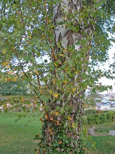 Silver birch in autumn