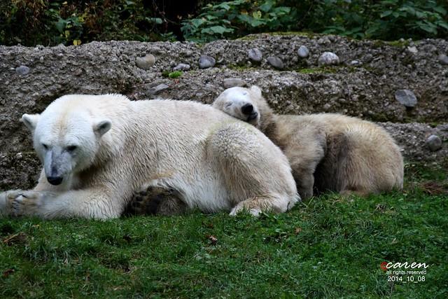 Eisbären Giovanna&Nobby 2014_10_08 199