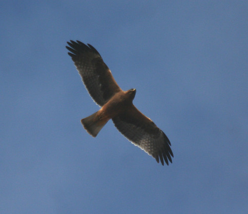 Booted Eagle Aquila pennata Sagres, Portugal October 2014