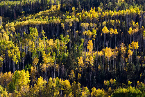 autumn trees fall colors leaves forest colorado national marble aspen gunnison coforest