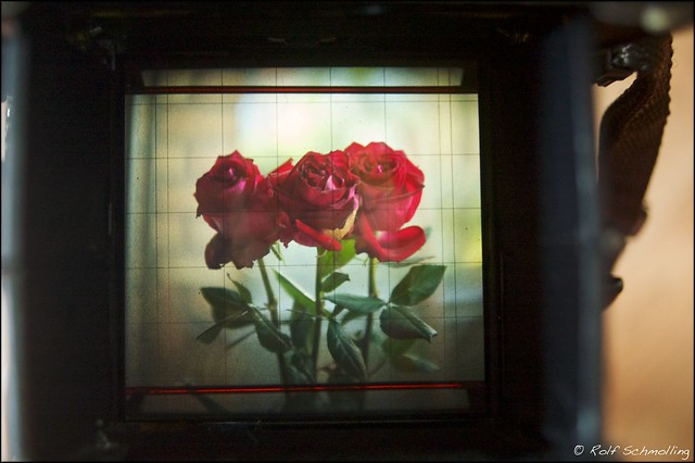 Shooting Stoll Life: Roses in the viewer of the Mamiya RB 67 Pro S