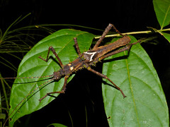 Spiny Stick Insect (Haaniella saussurei) male