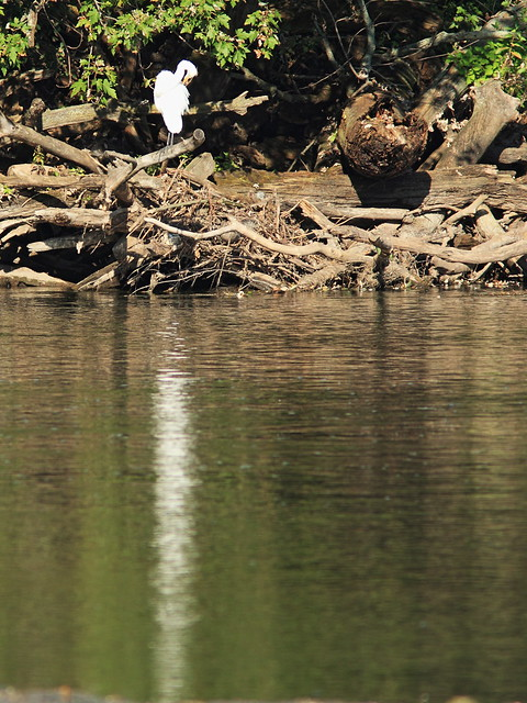 Egret casts long reflection 20140926