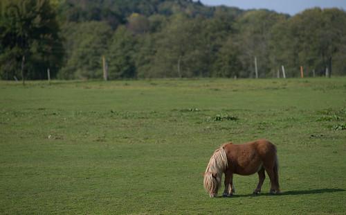 horses horse sun afternoon mark pony ponies grazing shetlandpony latesummer 180mm västragötaland västergötland björketorp sjuhärad