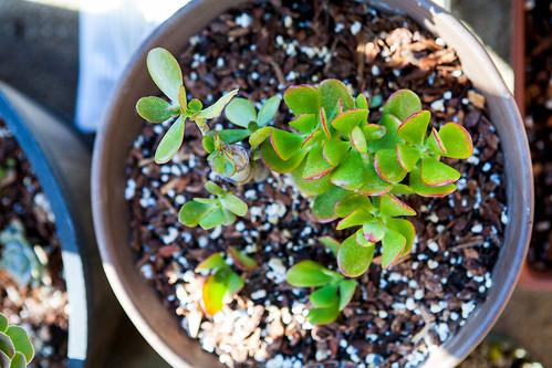 Jade plant - Crassula
