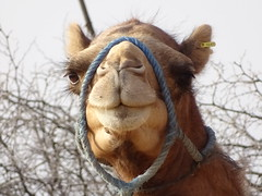 nose, animal, mammal, head, fauna, close-up, camel, arabian camel,