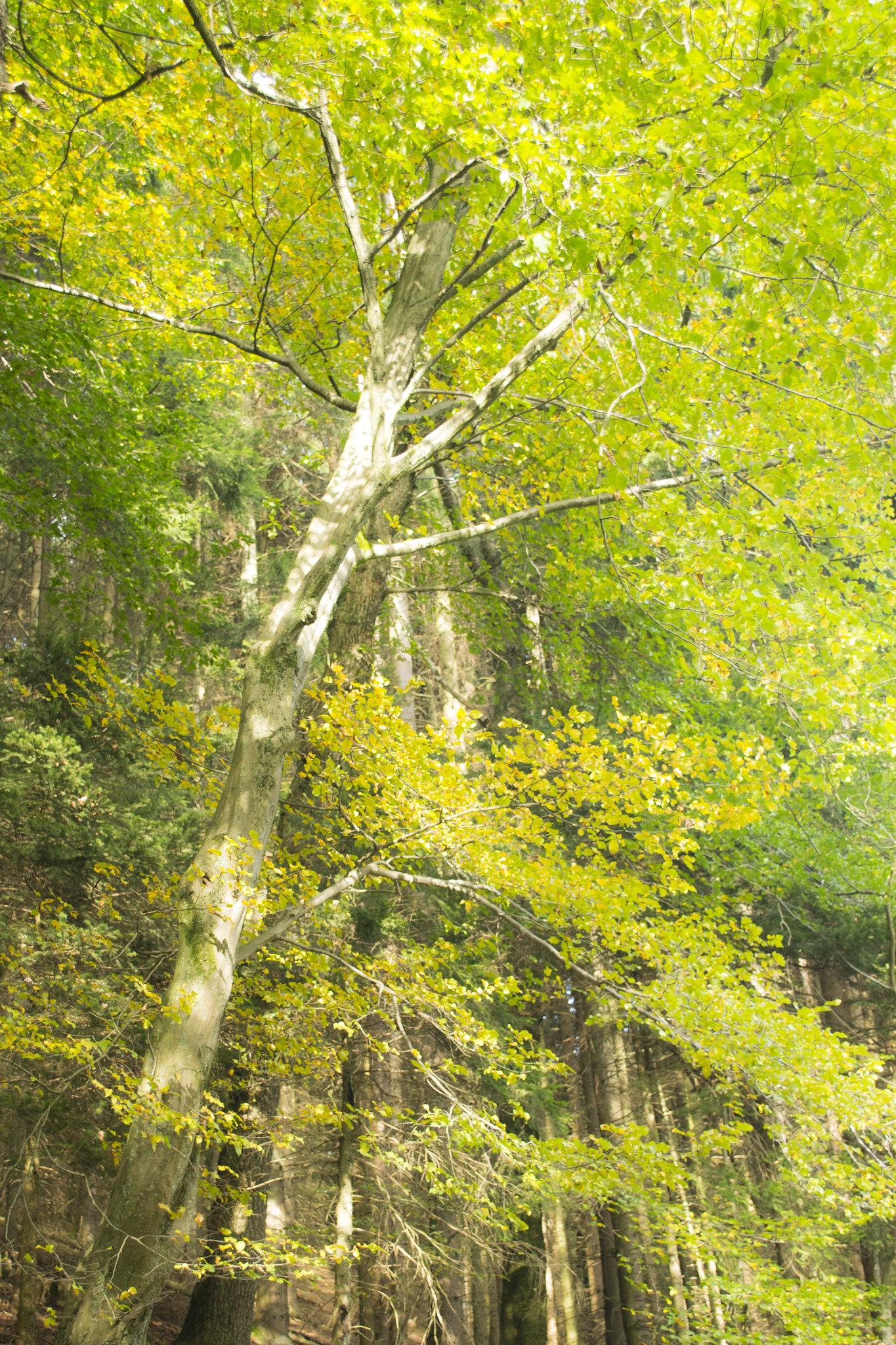 Wald vor lauter Bäumen? [Bildbeschreibung: Viele Bäume mit gelb gefärbten Laub ragen senkrecht auf. Nur ein Baum steht leicht schräg und ragt nach rechts, was in diesem Bild auch vorne ist. Sieht man unten vor allem die Stämme, die die Senkrechte betonen, dominiert oben das gelbe und grüne Laub.]