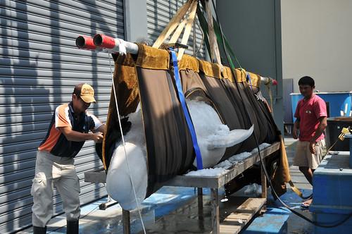 小白鯨blue吊起準備解剖。(圖片來源:海洋生物博物館)