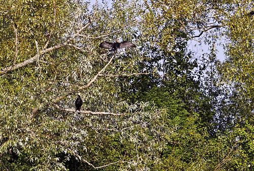 greatcormorant phalacrocoraxcarbo minija pamarys didysiskormoranas nemunodeltosregioninisparkas