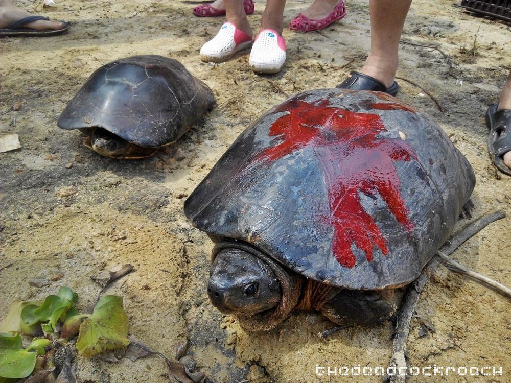 life liberation, santi forest monastery, sutera, ulu tiram, 宁心寺, 放生仪轨, travels,malaysia,johor bahru,tortoise release,tortoise