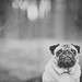 Time flies, pugs don't.