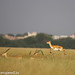 uttampegu posted a photo:	Black Buck in Tal Chapar in Rajasthan