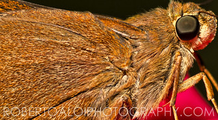 Monk Skipper Closeup