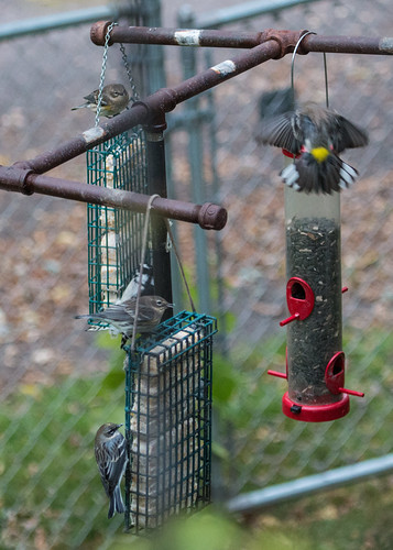 Yellow-rumped Warblers at my suet and peanut butter feeders.