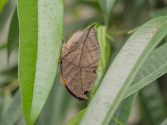 Butterfly disguised as a dead brown leaf (Kallima Inachus)