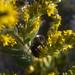 Bumblebee & Goldenrod 2