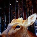 鹿/Deer