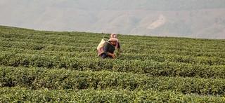 Chiang Rai - Tea Plantation