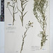Small photo of BM001161519 Achillea ptarmica L.