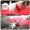 Hamıdan qabaq geyinib toyu gözləyir :) #şirin #pişikbalası #cute #kitty ready for #wedding #happy #Ganja #Azerbaijan