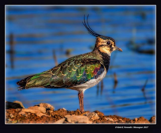 Fredeluga 12 (Vanellus vanellus) Northern Lapwing (Marjal de Sueca, la Ribera Baixa, València, Spain)