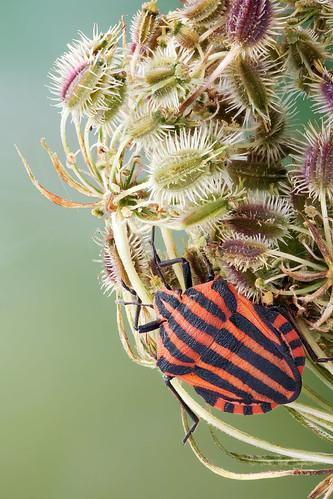 Minstrel bug - Pyjama wants