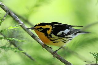 9099 Blackburnian Warbler (Dendroica fusca)
