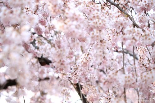 地蔵院枝垂れ桜 20170327-IMG_9121-1