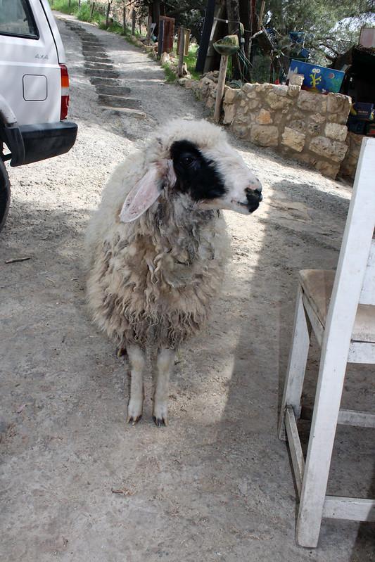 Schaf kommt uns besuchen
