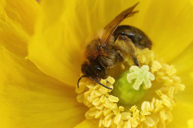 Miner bee in welsh poppy #2