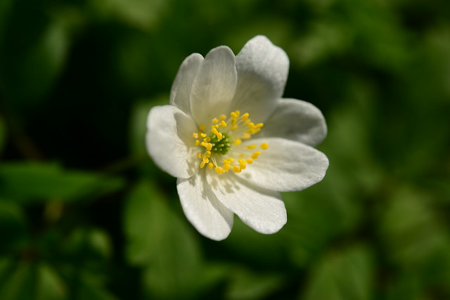 May Flower Anemone white, Nikon D800, AF-S Micro Nikkor 60mm f/2.8G ED