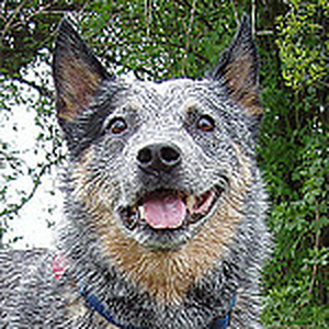 Flickr: Discussing Marvellous Mixes in Australian Cattle Dogs