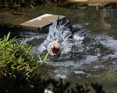 The shoebill which bathes