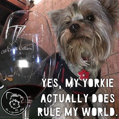 Does your Yorkie rule your world?