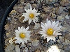 Floraciones