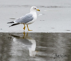 WAS_1741 Ring Billed Gull