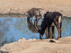 Male sable finally drinking