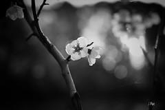 Primavera sin color